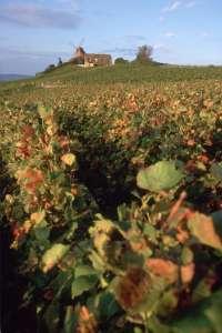 シャンパンの葡萄畑